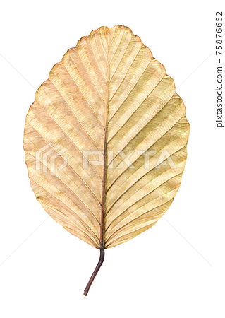 Dry leaf isolated 75876652