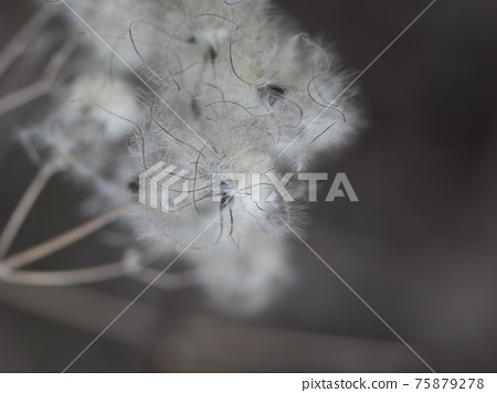 Close up macro of white fluffy dry plant seeds on brown bokeh background. Selective focus, copy space 75879278