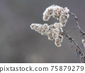Close up of dry faded flowers of Goldenrod or Solidago canadensis with fluffy seeds on beige bokeh background. Selective focus, copy space 75879279