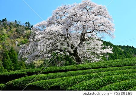 shizuoka, spring, cherry blossom 75889169