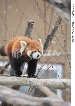 小熊貓 75892777