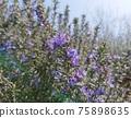 rosemary, herb, herbal 75898635