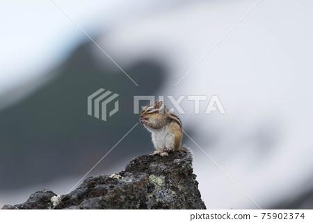 囓齒目 動物 花鼠 75902374