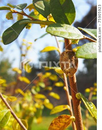 Mantis eggs 75905923