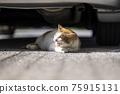 cat, pussy, yawning 75915131
