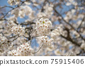 cherry blossom, cherry tree, bloom 75915406