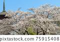 five-storied pagoda, cherry blossom, spring 75915408