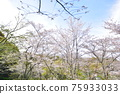 福岡 櫻花 櫻 75933033