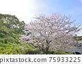福岡 櫻花 櫻 75933225