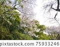福岡 櫻花 櫻 75933246