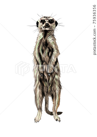 Meerkat from a splash of watercolor, colored drawing, realistic 75936356