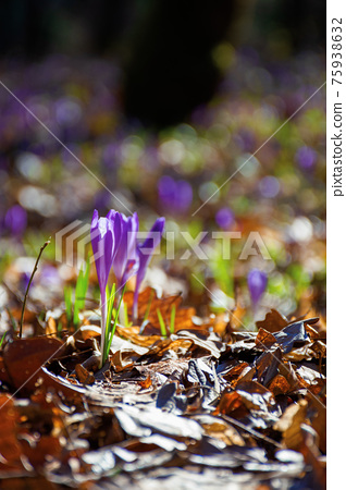 purple crocus flower blooming. beautiful nature scenery in the park. sunny weather. close up shot with shallow depth of field 75938632