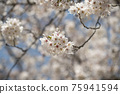 cherry blossom, cherry tree, bloom 75941594