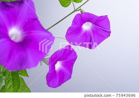 牽牛花 植物 植物學 75943696