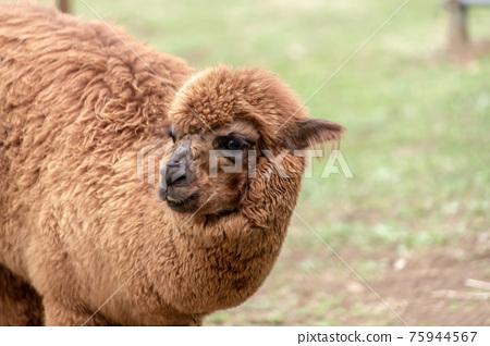 可愛的棕色羊駝 75944567