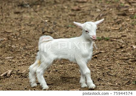 山羊 動物 雪羊 75944574