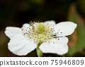 multiflora rose, rose, flower 75946809