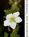 multiflora rose, rose, flower 75946810