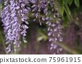 등나무 꽃 75961915