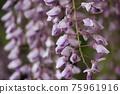 등나무 꽃 75961916
