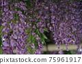 등나무 꽃 75961917