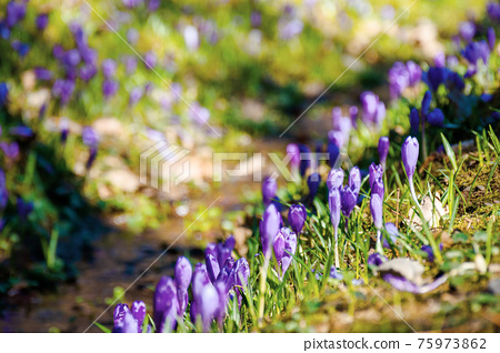 purple crocus flower blooming. beautiful nature scenery in the park. sunny weather. close up shot with shallow depth of field 75973862
