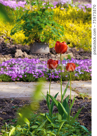 red tulips in the garden. blooming flowers on a sunny day in springtime. beautiful nature background 75973870