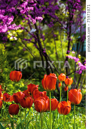 red tulips in the garden. blooming flowers on a sunny day in springtime. beautiful nature background 75973871