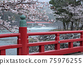 교토 부 우지시 우지 벚꽃 75976255