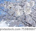 Cherry Blossom 75980667