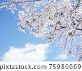 Cherry Blossom 75980669