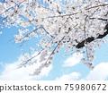Cherry Blossom 75980672