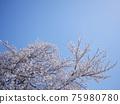 Cherry Blossom 75980780