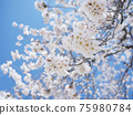 Cherry Blossom 75980784