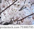 Cherry Blossom 75980785