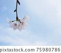 Cherry Blossom 75980786