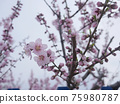 Cherry Blossom 75980787