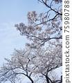 Cherry Blossom 75980788