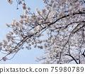 Cherry Blossom 75980789