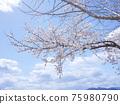 Cherry Blossom 75980790