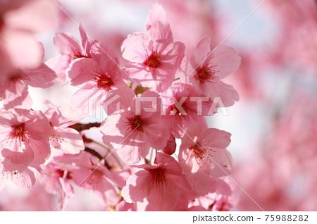 陽光櫻花樹 75988282