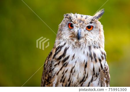 Beautiful shot of a bird of prey - great eagle owl.(Bubo bubo sibiricus) 75991300