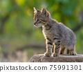 gray cat side view portrait in sunlight 75991301