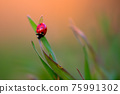 Ladybug is sitting on the grass 75991302