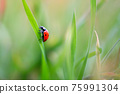 Ladybug is sitting on the grass 75991304
