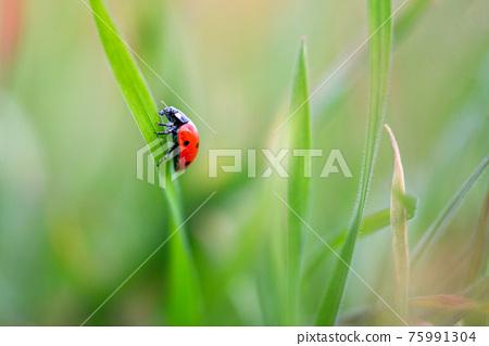 Ladybug is sitting on the grass 75991304