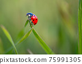 Ladybug is sitting on the grass 75991305