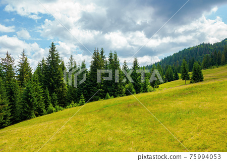 spruce trees in mountains. summer countryside landscape with grass on the hills. nature scenery on a sunny day with clouds on the sky. environment conservation concept 75994053