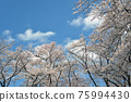 Cherry blossoms and clouds 75994430