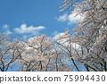 벚꽃과 구름 75994430